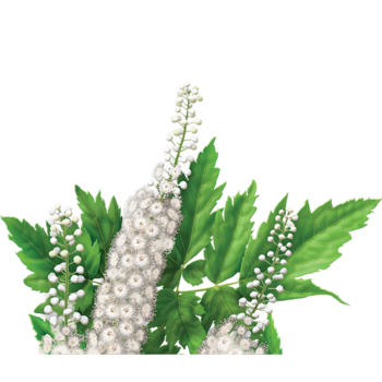 Black Cohosh Root Herbal Supplement