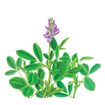 Alfalfa Herbal Supplement