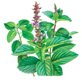 Holy Basil Herbal Supplement