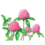 Red Clover Herbal Supplement